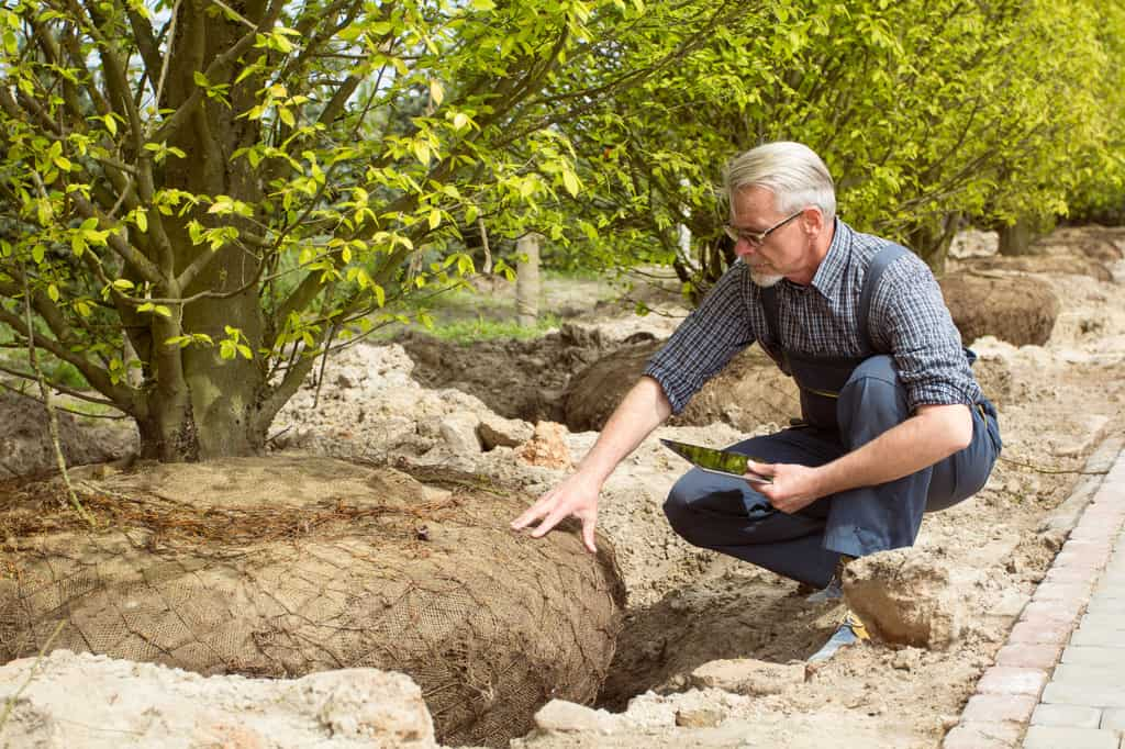 Arborist checking planted tree
